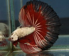 Copper devil, 1000th betta Pretty Fish, Beautiful Fish, Underwater Creatures, Underwater Life, Half Moons, Deep Sea Creatures, Beta Fish, Freshwater Aquarium Fish, Siamese Fighting Fish