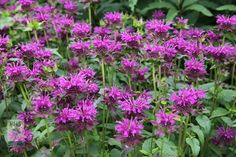 Monarda 'Scorpion' - Bergamot - July to Sept .5x1m high - may need supporting, keep for winter interest