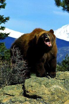 Home - Internet Marketing Samsung Galaxy S4, Sony Xperia, Big Bear Lake, Cute Bears, Brown Bear, Animal Kingdom, Animals Beautiful, Animal Pictures, Wildlife