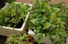 """Asijské """"greens"""" si můžete předpěstovat a poté vysadit na záhon či rozsadit do truhlíku. Lístky lze ale po pár týdnech sklízet i z přímého výsevu. Celery, Vegetables, Plants, Jars, Vegetable Recipes, Plant, Veggies, Planets"""