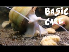 Apple Snail Care and History