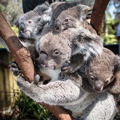 Koala Triplets a first at Australian Reptile Park