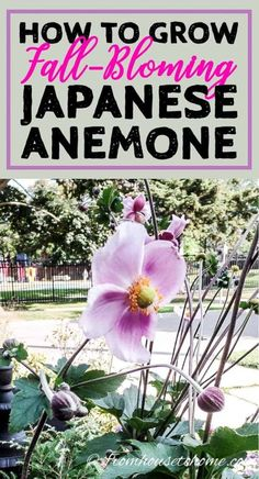 perennials that bloom in the fall? These Japanese anemones are easy to grow and have beautiful pink white or purple flowers during the autumn. Click through to find out how to care for fall anemones and the best varieties to grow. Part Shade Perennials, Flowers Perennials, Planting Flowers, Flowers Garden, Flower Gardening, Fall Planting, Shade Flowers, Shade Plants, Pink Flowers