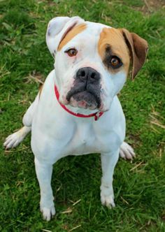 ADOPTED! URGENT KILL SHELTER Kennel # 05 Boxer & American Bulldog Mix • Young • Female • Medium Lorain County Dog Kennel Elyria, OH