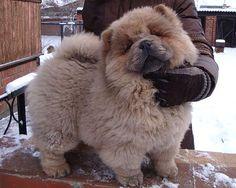 Cinnamon Chow Chow Puppies | CHOW-CHOW. Chow-chow females of Julideil Kennel. Dgulideil Yadrjena ...