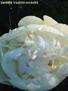Versoja Vaahteramäeltä Coconut Flakes, Peonies, Spices, Rose, Garden, Flowers, Plants, Spice, Pink