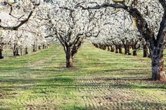 Pear orchard!!