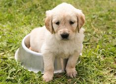 Just can't take myself away from feeding bowl ... might miss meal ... so cute ... #golden #retriever #puppy ...