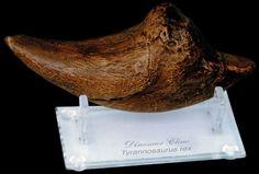 "Tyrannosaurus Rex Claw - Finish: Antique Aged finish Dimensions: 7"" (18 cm)"