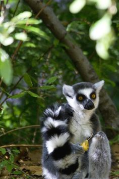 """LEMUR at PHILADELPHIA ZOO -- Explore article on Traveler's Choice List of America's Top Zoos to view TripAdvisor's nationwide list of """"10 + 1 Top American Zoos"""" at http://www.examiner.com/article/traveler-s-choice-list-of-america-s-top-zoos"""