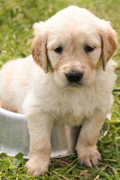 A cute puppy - golden retriever #cute #puppy #dog #goldenretriever #TheWorldIsGreat