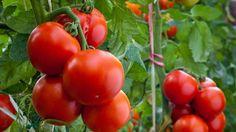 Jak pěstovat a chránit rajčata, aby co nejvíce plodila?