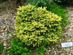 Picea orientalis 'Tom Thumb Gold'