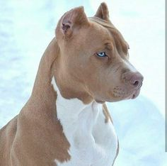 beautiful pibble