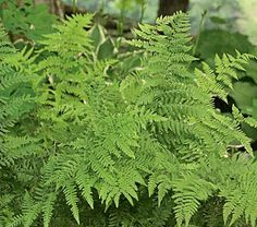 Athyrium filix-femina - Lady Fern The lacy 30-36in fronds of this deciduous native species unfurl pale green and turn darker as the season progresses. Equally happy in full sun or shade and not fussy about soil conditions, though it draws the line at swamps and deserts.