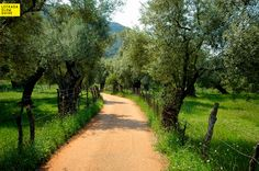 Venetian Olive grove (the town's environs), excursions, Lefkada