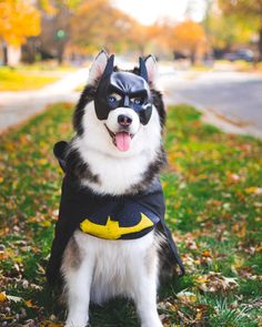 Dressed my puppers in Batdog costumes for your enjoyment. Happy Howl-O-Ween Imgur! - Imgur