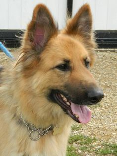 Kiera - CGSR - Central German Shepherd Rescue German Shepherd Rescue, Abandoned, United Kingdom, Corgi, Animals, Left Out, Corgis, Animales, Animaux