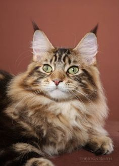 maine coon | history