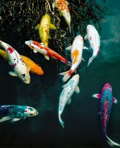 Koi Fish Rainbow. As an animal totem, Koi fish can represent: visions, spirit realm, prosperity, transformation, good fortune, peace and balance.