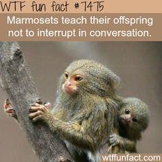 Pygmy Marmoset Monkey with baby (DwergzijdeAapje) Marmoset Monkey, Pygmy Marmoset, Baby Animals, Funny Animals, Cute Animals, Primates, Mammals, Photo Animaliere, Wtf Fun Facts