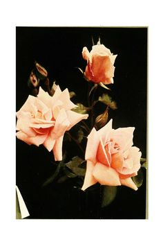 The rose book, a complete guide for amateur ros...(Rose Lady Pirrie [hybrid tea rose])