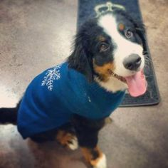 Chilly Dog sweaters are great to keep your dogs warm during the chilly winter months.  Gus, pictured here at the Global Pet Foods store in Stellarton, Nova Scotia can attest!  He sure looks sharp!  You'll find these sweaters at Global Pet Foods stores across Canada.   #winteriscoming   #coldweather   #globalpetfoods   #cutecustomers   #canada