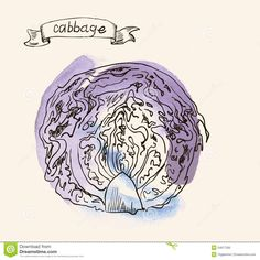 Image result for cabbage drawing