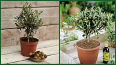 Do you know that you can plant an olive tree in a pot at your home? Do you like to nibble olives as a snack, use them in salads and various other dishes? Permaculture, Olivier En Pot, Pots, Comment Planter, Olives, Olive Tree, Farmer, Planters, Deco