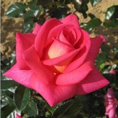 LeRosier'Reflets de Saint Malo' ® Le Rosier'Reflets de Saint Malo' ®est particulièrement apprécié pour ses grandes fleurs en coupe, rose fuchsia à reflets jaune orangé dans le coeur des roses.Les Roses, de 13 à 15cm de diamètre, dégagent un parfum puissant.Pour favoriser la remontée à fleurs, il est important de tailler les roses fanées. On plante le Rosier 'Reflets de Saint Malo' ®dans une terre riche et bien drainée, de préférence en plein soleil.