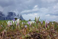 Frühling auf der Seiser Alm mit dem Schlern im Hintergrund  #SeiserAlm #AlpediSiusi #Südtirol #Südtirolbewegt #Dolomiten #Italien Mountains, Nature, Plants, Travel, Europe, Hiking Trails, Tours, Round Round, Italy