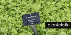In Danish: Latin in plant names, one of more explaining articles. HAVEFOLKET: LATINOLØRDAG - SIDSTE TIME