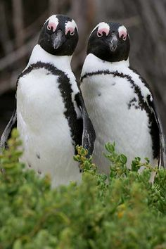 African Penguins aka Jackass Penguin as seen on our Cape Town Pelagic Trips (photo by Adrian Binns). African Penguin, African Animals, Beautiful Birds, Animals Beautiful, Cute Animals, Wild Animals, Penguin Love, Penguin Craft, Flightless Bird