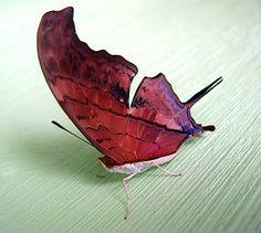 Borboleta estranha - Uma estranha borboleta ainda sendo pesquisada, encontrada no nordeste do Brasil.
