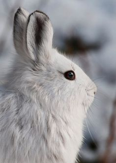 Did you know the snowshoe hare feeds at night rather than during the day? Woven paths in the woods lead to shrubs, grasses, and plants it loves to eat.   Photo: Snowshoe hare by Tim Rains/NPS.