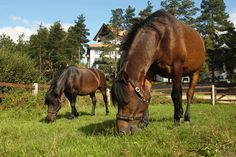 Bimber i Browar, brothers young Huculs horses in the Hotel & Resort SPA Termy Medical WARMIA PARK in Poland (Warmia and Masuria, Pluski near Olsztyn)