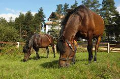 Bimber i Browar, brothers young Huculs horses in the Hotel & Resort SPA Termy Medical WARMIA PARK in Poland (Warmia and Masuria, Pluski near Olsztyn)