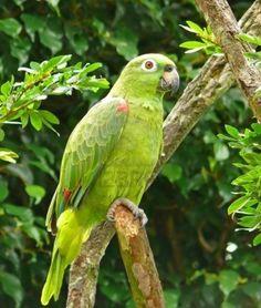 Amazon Parrot.
