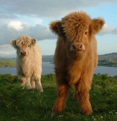 Baby highland coos. They're so fluffy!