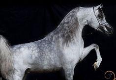 EKS Mansour (EKS Alihandro x EKS Phateena) 2012 grey stallion bred by Elkasun Arabians, South Africa