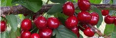 Pictures - Bush with berries of a red currant. Growing Peppers, Cherry Recipes, Planting Flowers, Berries, Stuffed Peppers, Vegetables, Fruit Ideas, Pomegranates, Epsom Salt