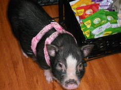 Petunia the pig in Peachy Keen Pets harness! #pigharness #harness