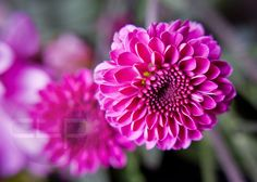5x7 Purple Mums Fine Art Print by TheHistoricalSociety on Etsy, $12.00