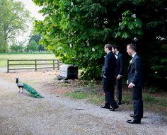#wedding #bellinghamcastle #groomsmen #peacock #juliecumminsphotography #clairebaker