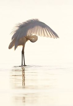 Peaceful great Egret bird ~ VoyageVisuelle ✿⊱╮