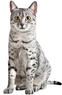 Wist je, dat de Egyptische mau een echte Egyptische kat is, die daar zo'n 4000 jaar geleden al voorkwam? Door zijn goede jagerskwaliteiten was hij bijna onmisbaar, omdat hij ervoor zorgde dat de graanschuren ongedierte vrij bleven. Behalve een uitstekend jager is de Egyptische mau een fijne, speelse, intelligente gezinskat, die het vaak plezierig vindt om op de schouders te worden meegedragen. Wil je meer weten over de Egyptische mau, kijk dan op de encyclopediepagina van GEKop katten.