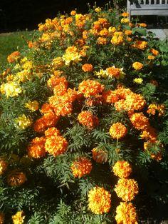 Marigold. Image Courtesy of IFPA Member Victoria Sprigg