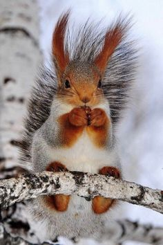Red squirrel poses for the camera Nature Animals, Animals And Pets, Wild Animals, Beautiful Creatures, Animals Beautiful, Cute Baby Animals, Funny Animals, Cute Squirrel, Squirrels