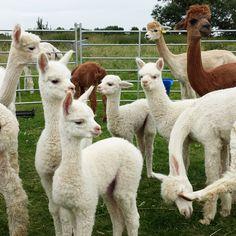 4 beautiful babies on the alpaca farm featured on the Purl Alpaca Designs' blog.