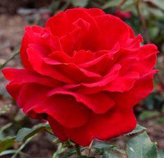 MEILLAND International | Rosiers de Jardin | Grandes fleurs.Victor Hugo